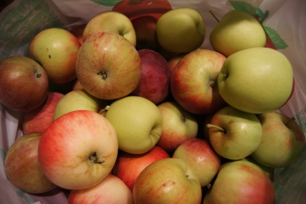 We picked a ton of apples, so we would have plenty to choose from for our experiments!