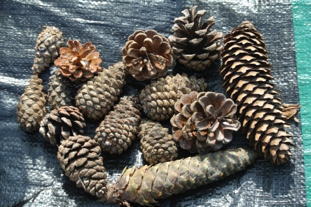 And we made a nice pile of the pinecones.  We also made a pile of leaves, rocks, fruit, and seeds.